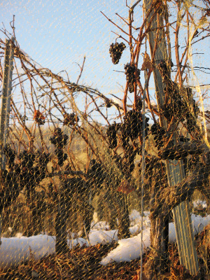 Valais_lategrapes3_151207_4