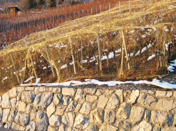 Valais_lategrapes_1512007_2